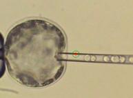 Ученые создали первый жизнеспособный эмбрион гибрида человека и свиньи