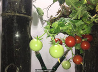 Странный эксперимент, который может обеспечить будущих марсиан помидорами