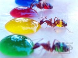 Радужный эксперимент с муравьями (ФОТО)