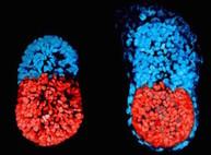 Детей можно «штамповать» из клеток кожи