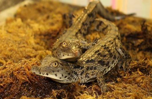 В Харьковском зоопарке у пары нильских крокодилов родились малыши (ФОТО, ВИДЕО)