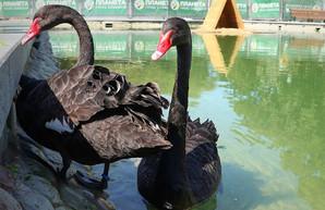 Лебедей в харьковском саду больше нет