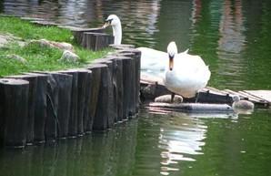 Идут морозы: лебедей из харьковского парка Горького переселили