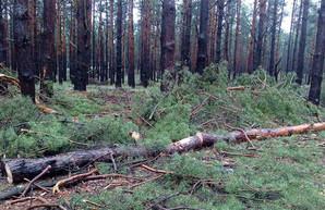 «Черного» лесоруба накажут за вырубку сосен в национальном парке