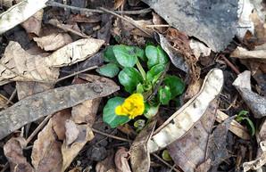 Среди зимы в Харькове распустился весенний цветок (ФОТО)