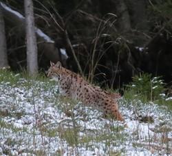 В украинских Карпатах заметили редкого хищника (Фото)
