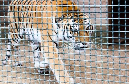 В Крыму тигр откусил палец годовалому ребенку